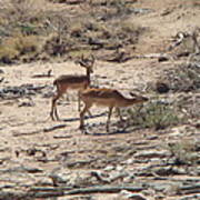 Impala Near Red River Poster