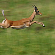 Impala  Running And Leaping Poster