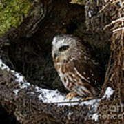 In Hiding Saw Whet Owl In A Hollow Stump Is Part Of The Birds Of Prey Fine Art Raptor Wildlife Photo Poster