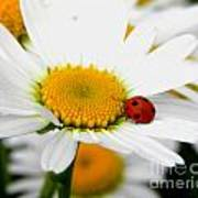 In Love With A Ladybug And A Daisy Poster