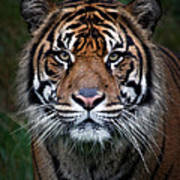 Tiger In Your Face Poster