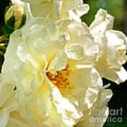 Sunny Rose Garden Poster