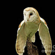 In The Still Of Night Barn Owl Poster by Inspired Nature Photography Fine Art Photography