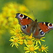 Inachis Io Butterfly On The Yellow Flowers Poster