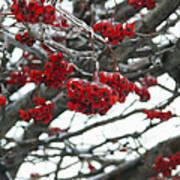 Incased Berries Poster