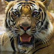 India Male Bengal Tiger (pantera Tigris Poster