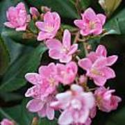 Indian Hawthorn Blossoms Poster