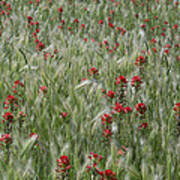 Indian Paintbrush And Foxtail Barley Poster