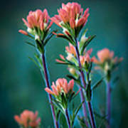 Indian Paintbrush At Dawn Poster by James Barber