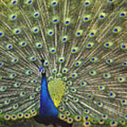 Indian Peafowl Male Displaying Poster