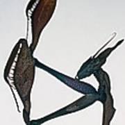 Indian Rose Mantis Gonglus Gongylodes Wondering Violin Mantis  1 Of 3 Poster