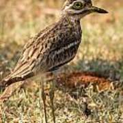 Indian Stone-curlew Or Indian Thick-knee Poster