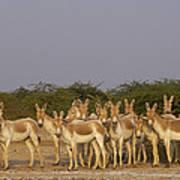 Indian Wild Ass Herd Gujarat India Poster