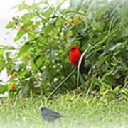 Indigo Bunting And Scarlet Tanager 2 Poster