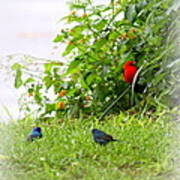 Indigo Bunting And Scarlet Tanager Poster