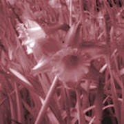 Infra-red Daffodils Roath Park Cardiff Poster