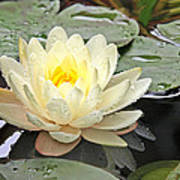 Inner Glow - White Water Lily Poster
