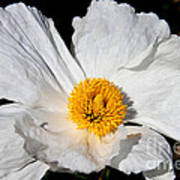 Innocent Krinkle - White Peony By Diana Sainz Poster