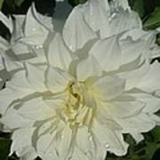 Innocent White Dahlia  Poster