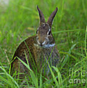 Inquisitive Rabbit Watching You Poster
