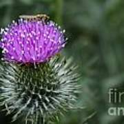 Insect On A Thistle Poster