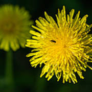 Insects On A Dandelion Flower - Featured 3 Poster