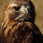 Red Tailed Hawk Portrait Poster