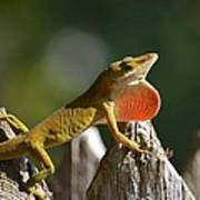 Intimidated Anole Poster