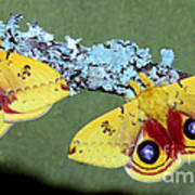 Io Moth Automeris Io Adult Males Poster