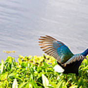 Iridescent Color Of Purple Gallinule Poster
