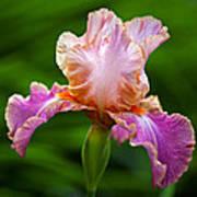 Iris 5 Poster