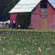 Iris Field And Barn Poster