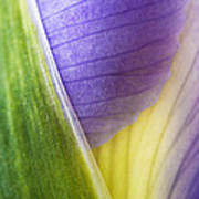 Iris Flower Close Up Poster by Natalie Kinnear