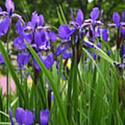 Irises In Spring Poster