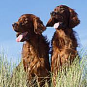 Irish Red Setter Dog Poster