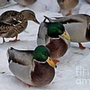 Isabella's Ducks Poster