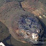 Island Turtle Poster