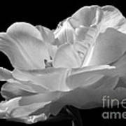 Isolated White Tulip Poster
