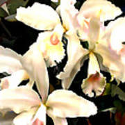 Ivory Cattleya Orchids Poster