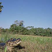 Jacare Caiman In Marshland Pantanal Poster