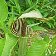 Jack In The Pulpit - Arisaema Triphyllum Poster
