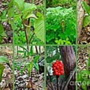 Jack-in-the-pulpit Wildflower    Arisaema Triphyllum Poster