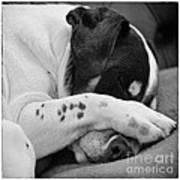 Jack Russell Terrier Dog Asleep In Cute Pose Poster by Natalie Kinnear
