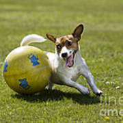 Jack Russell Terrier Plays With Ball Poster by Johan De Meester