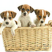 Jack Russell Terrier Puppies Poster