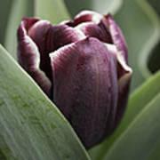Jackpot Tulip Poster