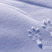 Jackrabbit Tracks In Snow Poster