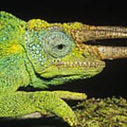 Jacksons Chameleon Male East Africa Poster