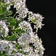 Jade Plant Flowers Poster