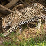 Jaguar Panthera Onca Foraging Poster